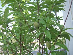 ▲前のお宅から持ってこられた桃の木も新しい土地ですくすく育っている
